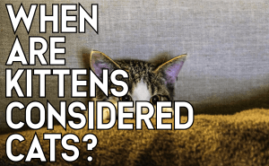 When Are Kittens Considered Cats?