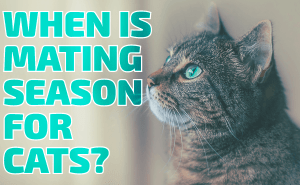 When Is Mating Season For Cats?