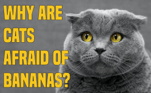 Why Are Cats Afraid Of Bananas?