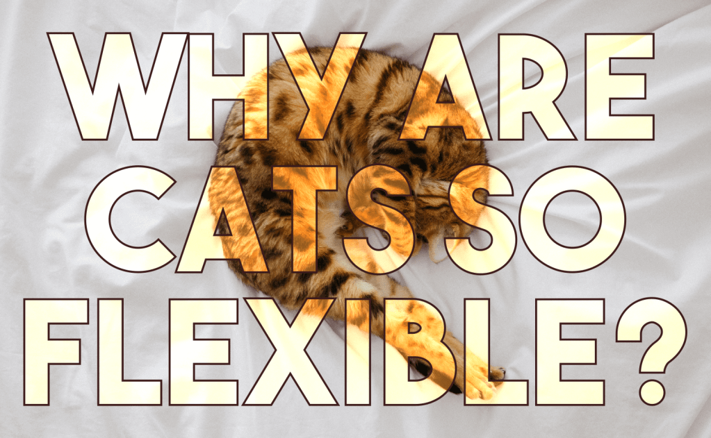 Why Are Cats So Flexible?