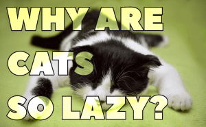 Why Are Cats So Lazy?