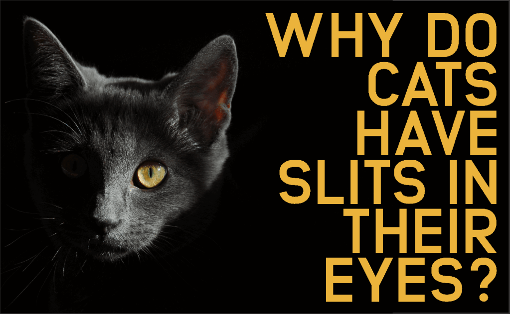 Why Do Cats Have Slits In Their Eyes?