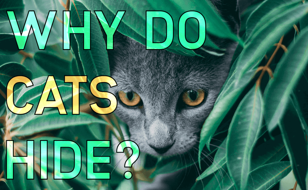 Why Do Cats Hide?