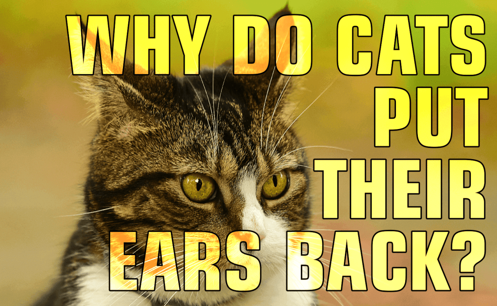 Why Do Cats Put Their Ears Back?