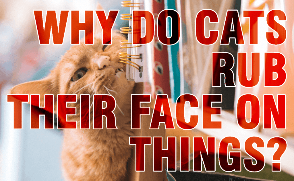 Why Do Cats Rub Their Face On Things?