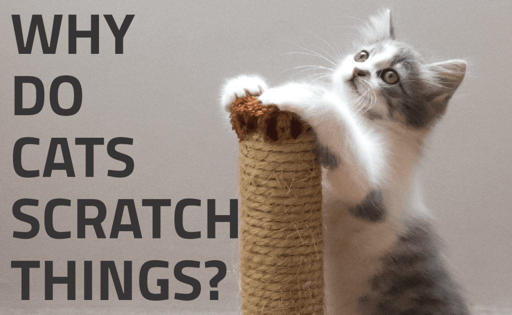 Why Do Cats Scratch Things?