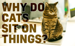 Why Do Cats Sit On Things?
