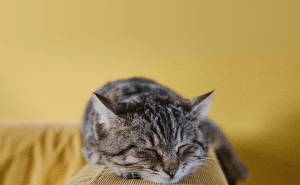 Why Do Cats Snore?