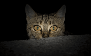 How Well Can Cats See in the Dark?
