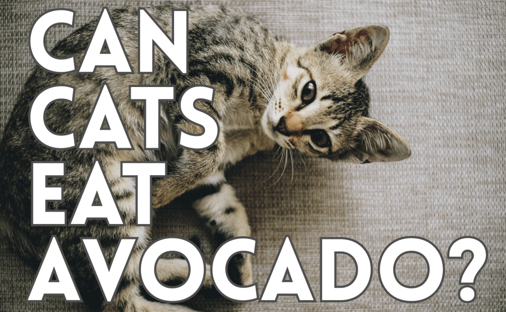 Can Cats Eat Avocado?