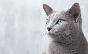 All About Russian Blue Cats