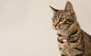 All about the Bengal Cat