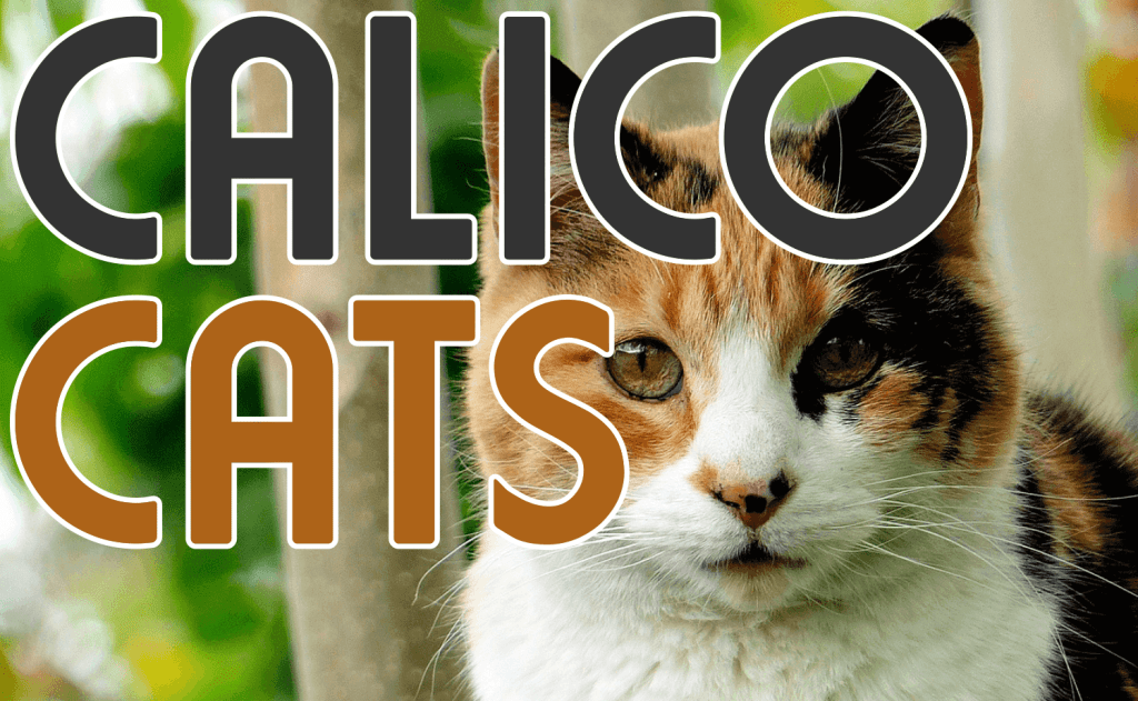 Calico Cats - Everything You Wanted To Know