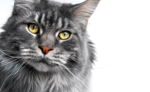 The record for the world's largest domestic cat belongs to a Maine Coon who was over four feet in length!