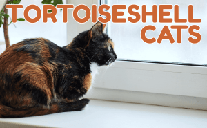 All About Tortoiseshell Cats