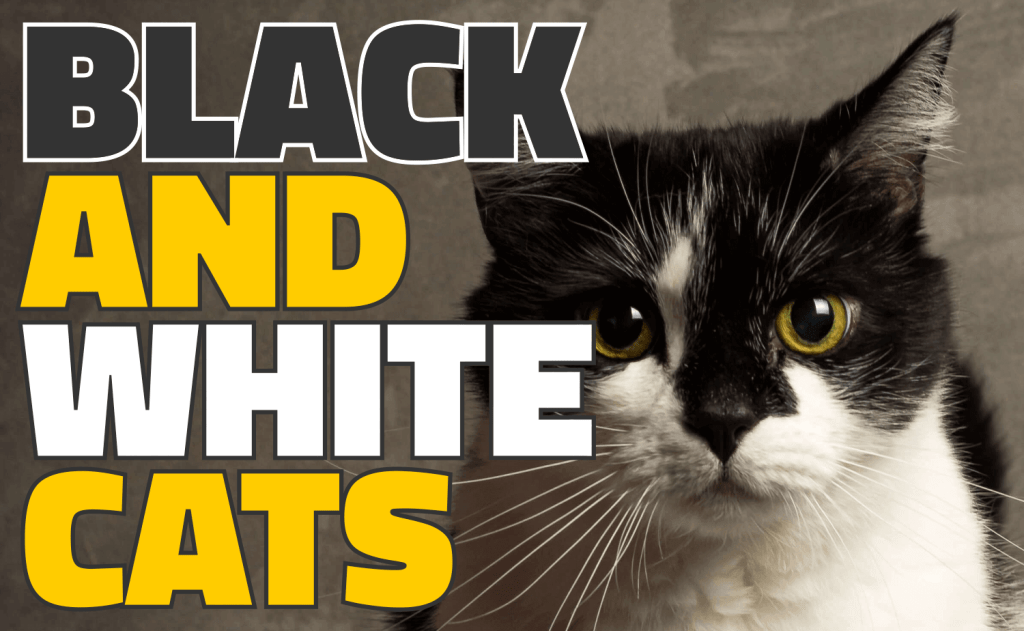 All About Black and White Cats