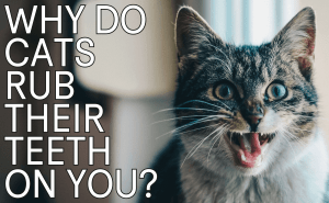 Why Do Cats Rub Their Teeth on You?