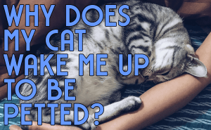 Why Does My Cat Wake Me Up To Be Petted?