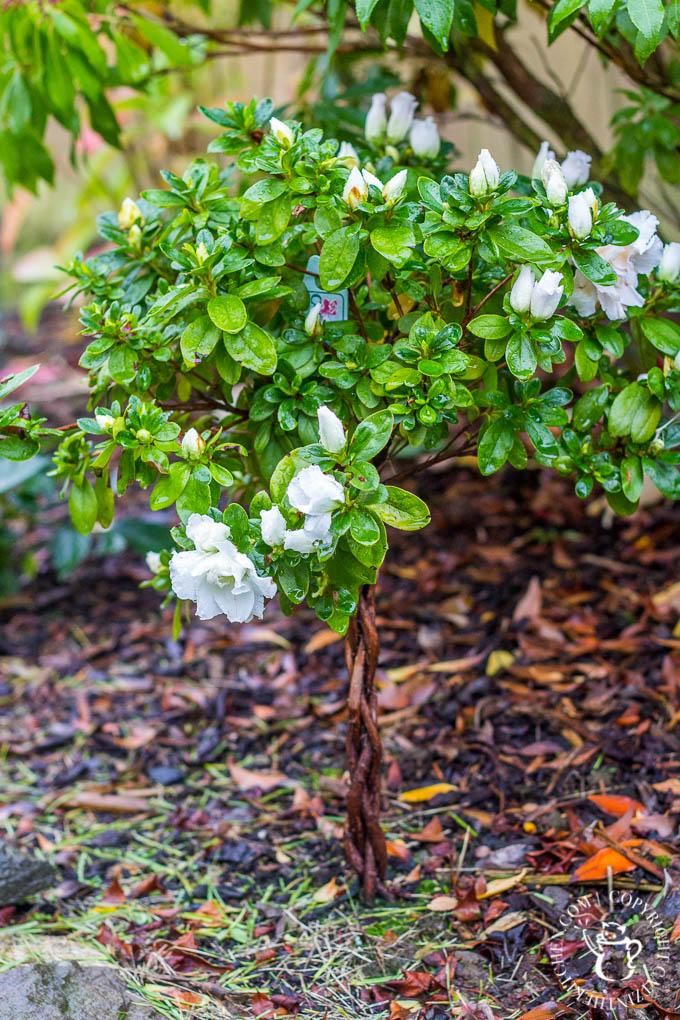 azalea-tree-7