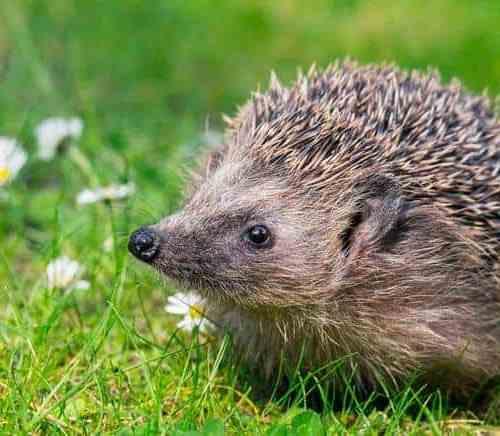 Hedgehog-Flowers-Meadow-Field.jpg.653x0_q80_crop-smart