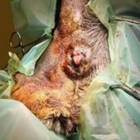Hier ligt Blacky op de operatietafel op zijn buik met zijn staart omhoog gebonden. De zone rond de anus is lokaal verdoofd teneinde de algemene anaesthesie zo licht mogelijk te houden.