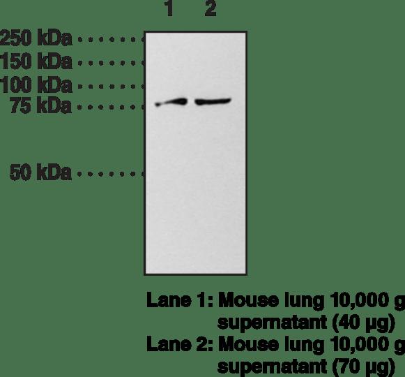 Guanylate Cyclase α subunit (soluble) Polyclonal Antibody