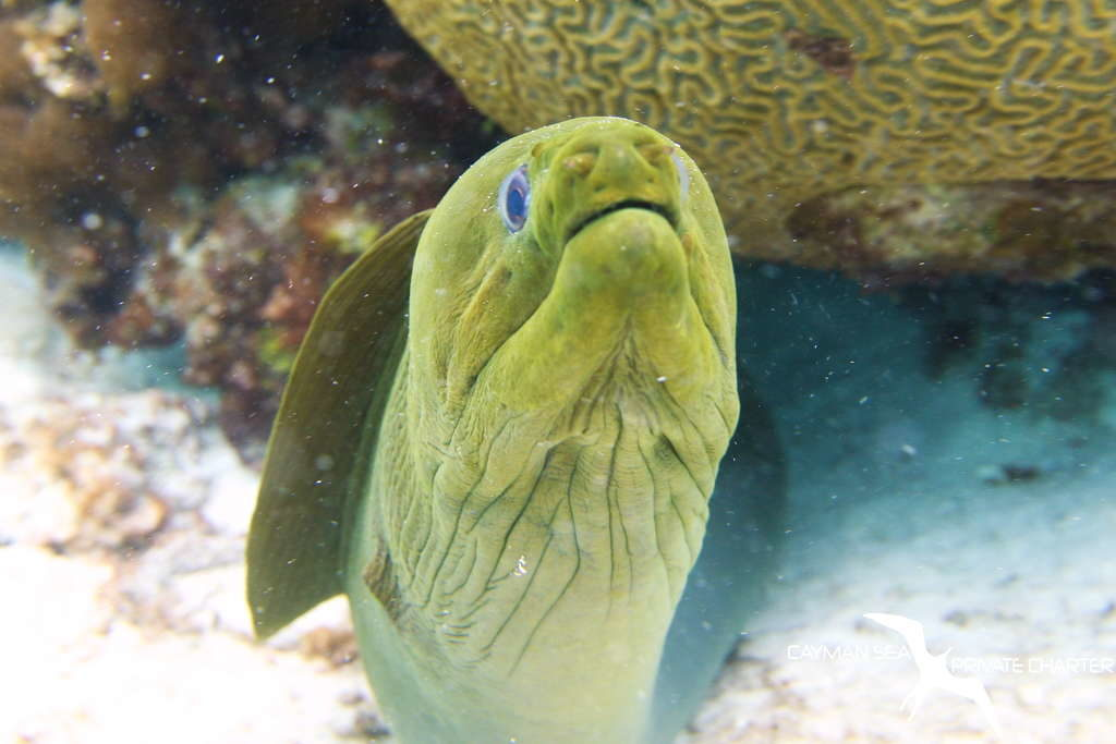close up of a moray eel in grand cayman