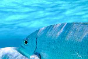 fish looking back at camera while snorkeling the reef in grand cayman