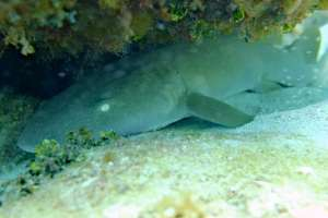 nurse shark resting under reef seen while snorkeling in grand cayman