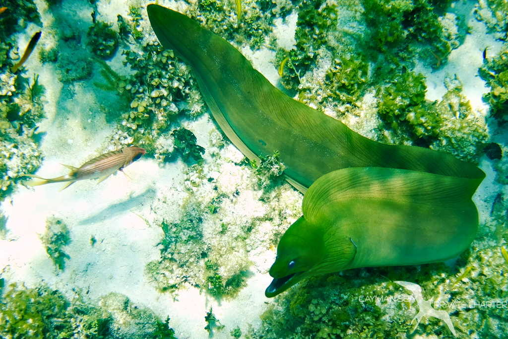 moral eel and fish seen while snorkeling on a private boat charter in grand cayman