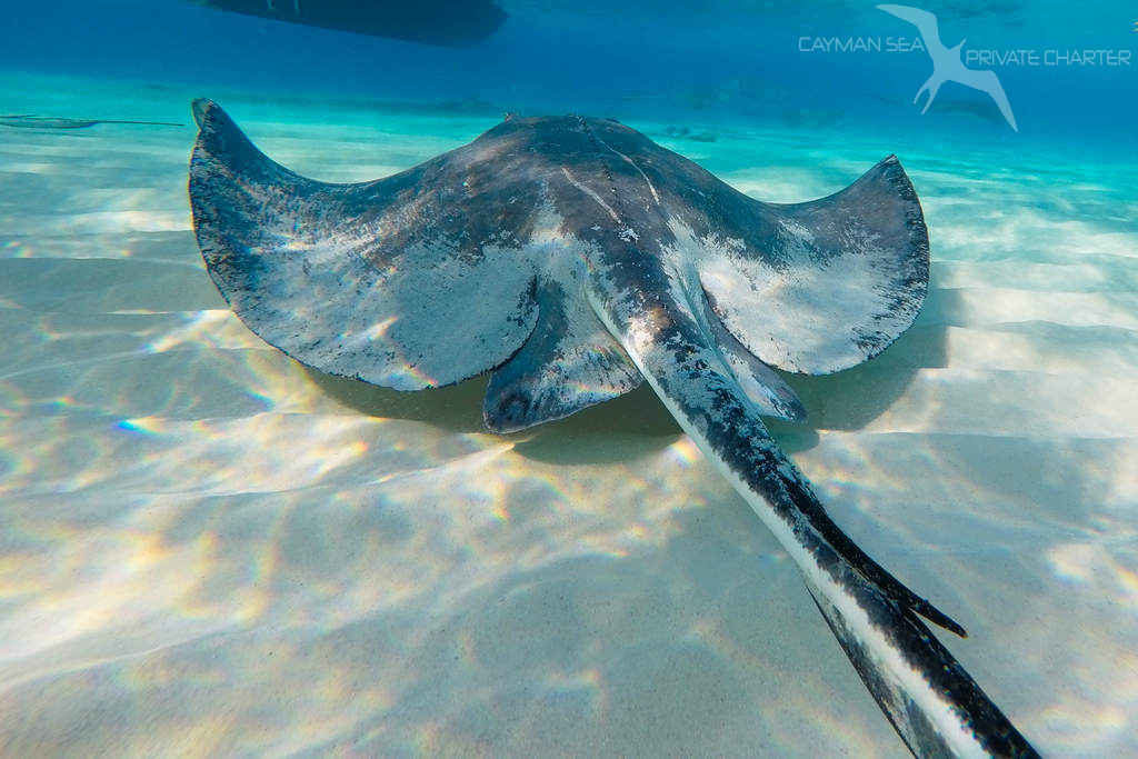 stingray swimming away and clearly see the tail and stinger at stingray city grand cayman