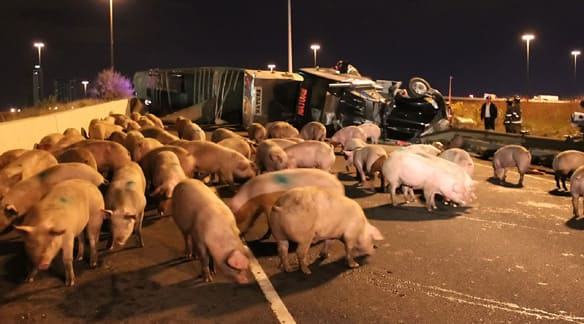 Pigs run loose on a Toronto highway after the tractor-trailer that was carrying them overturned.