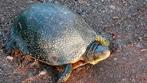 The Blanding's turtle is one of the endangered species that would be at risk if the province approves a Gilead Resources proposal to build a green energy project on the shores of Lake Ontario.