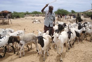 A Somali herdsman leads goats toward the water point at Afgoye livestock market, west of Mogadishu on March 15, 2010.