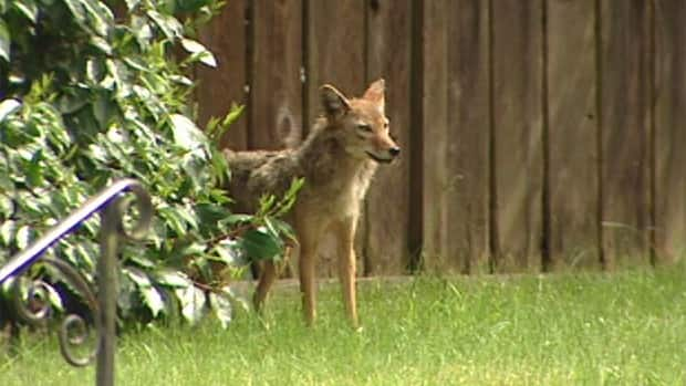 Cities like Vancouver can be an ideal environment for coyotes, one expert says.