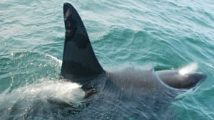 The killer whale is not a species common in east coast waters.