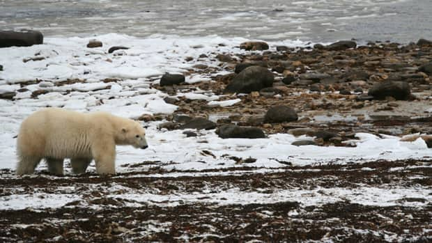 A polar bear wanders along the Hudson Bay. New research suggets that permafrost soils in Canada's Arctic are melting at a rate that will significantly speed up global warming.