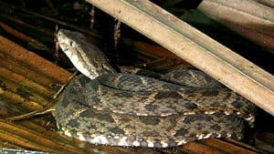 The Bothrops asper, commonly known as a fer-de-lance, shown here in Costa Rica, is a venomous pit viper species native to Central and South America.
