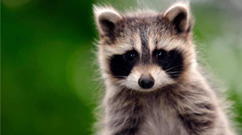 Cute Raccoon Wallpaper 8 Facts About Raccoons Explore Awesome Activities
