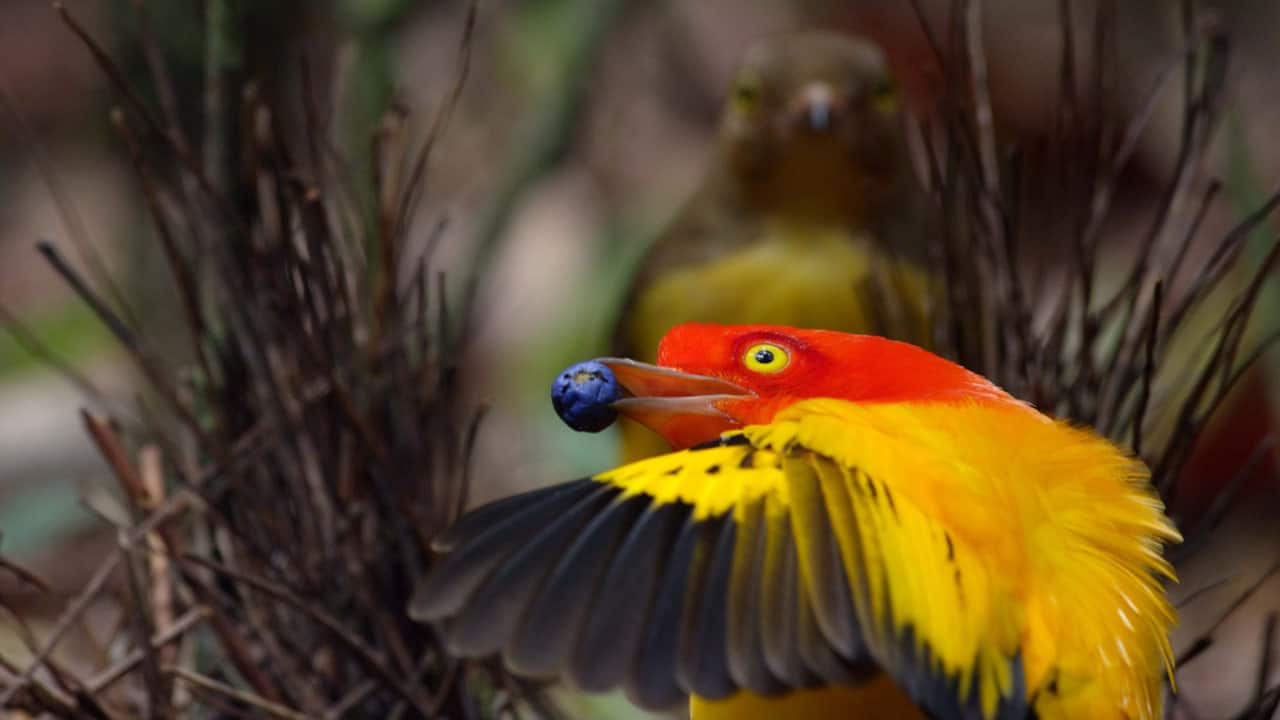 Image result for bowerbird