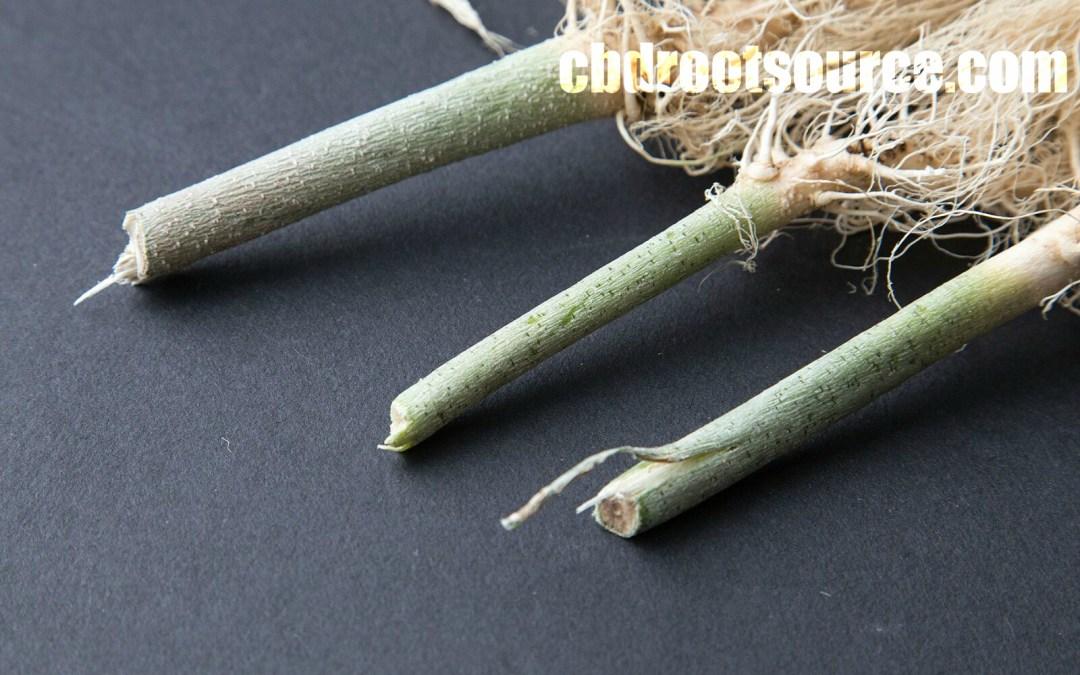 Marijuana Roots and the Benefits of CBD (Cannabinoids)