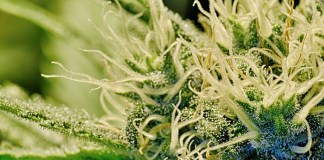 Cannabis Treats Hundreds Of Medical Conditions