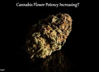 Cannabis Flower Potency Increasing