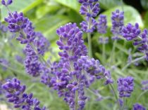 Linalool: calming effects that are used for stress relief, most closely associated with the floral scent of lavender.