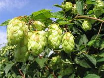 a-Humulene: found in hops; has powerful anti-inflammatory properties.