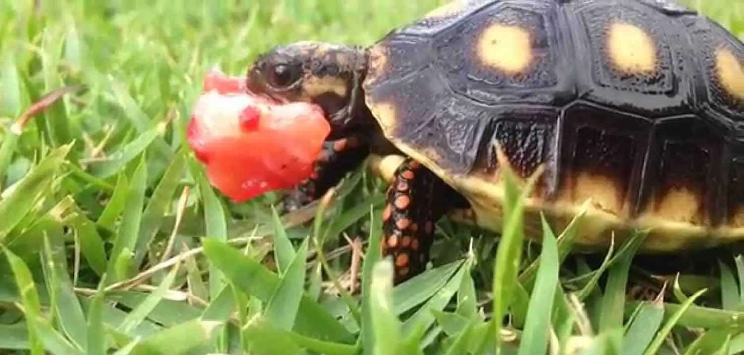 red foot tortoise for