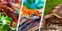 Gecko for sale | Panther Chameleons for sale online ...