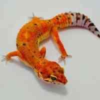 geckos for sale online | baby gecko for sale leopard gecko ...