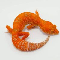 Leopard gecko morphs for sale where to buy baby leopard ...