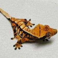 crested gecko for sale online | buy baby crested geckos ...